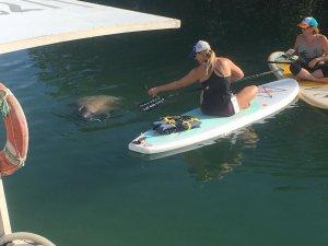Manatee sighting SUPing the Florida Keys